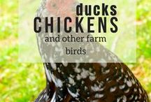 Ducks, Chickens and other Farm Birds / Duck, Duck, Goose! Learn all about poultry, from raising chickens and ducks to the lesser known quail and guineas!
