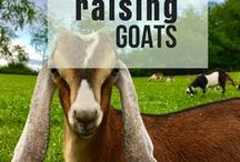 Raising Goats / No matter if you are raising goats for milk, as pets, for meat or for profit. Find everything you need to know about raising goats including goat health and illness, basic goat care, and information on raising goats for beginners!