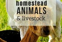 Homestead Animals & Livestock / Do you want to raise your own homestead animals? Learn how to raise meat, build your barns, and start a hobby farm with pigs, goats, quail, chickens and more!