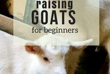 Raising Goats for Beginners / Do you want to raise goats for milk, for meat, as pets? Get started with raising goats! Everything you need to get off to a great start with a well managed herd. Raising goats for beginners was never so easy!  This board is open by invitation only. Pin only once per day.