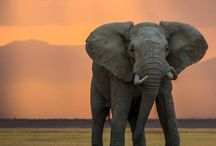 Majestic Elephant / Nature's great masterpiece, an elephant; the only harmless great thing.