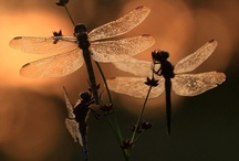 Dragonflies / Dragonflies are exquisite creations and I am fascinated by them / by Stacerina Ray