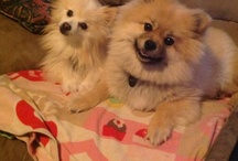 Love my Pomeranians Bandit & Belle