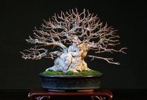 Bonsai 盆栽 Trees