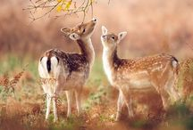 Animals - Deers