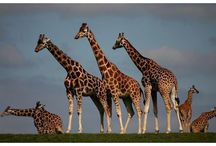 Animals - Giraffes