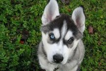Wyatt / Ideas for our sweet new Lab/Husky puppy!  / by Nicole Groeper