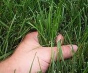 Lawn Care Tips / A gardening board devoted to organic lawn care, organic lawns, green living, green landscaping, edible landscapes and more.
