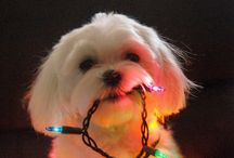 Shih Tzus / All about Shih Tzus and some general dog stuff too. / by Jennifer Johnson