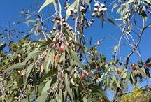 AUSTRALIAN NATIVES / Mainly WA Natives for Perth gardens / by Zoe Cochrane