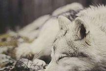 Beautiful Canines