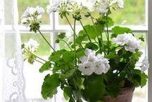 Cottage ~ White Geranium / Happy pinning.. no limits.. no blocking..❤️