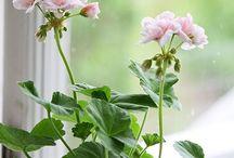 Cottage ~ Pink Geranium / Happy pinning..no limits..no blocking..❤️