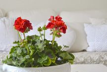 Cottage ~ Red Geranium / Happy pinning.. no limits.. no blocking..❤️