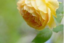 Rose of Texas / Happy pinning.. no limits.. no blocking..❤️