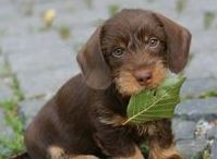 Chocolate and tan / Dachchunds wirehaired