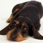 Wilderness / dachshunds wirehaired