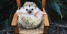 Hedgehogs / It's not always easy to hug a hedgehog but that doesn' t mean you shouldn't. Cute little critters :)