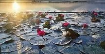 Flores de Lótus e Water Lillies _ Paisagens.