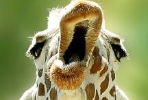 giraffes / by Anne Hufflepuff
