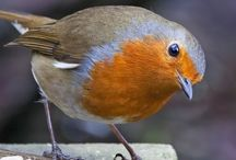 'Robin <3 Rouge gorge adorable'