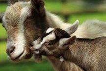 I want a goat!!!