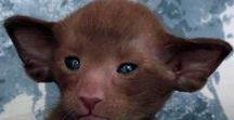 Cats. O'Rpuni kitten / Oriental kitten of cattery O'Rpuni