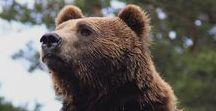 Animal. Bear