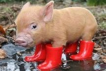 THIS LITTLE PIGGY ................ / by Virgil Fryburger
