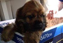 Chewbacca (Chewy) / My gorgeous puppy dog. / by Chentzu Hester