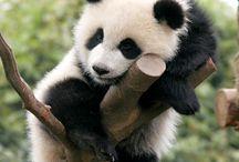 Panda / Ils sont mimi!