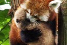Panda roux / Trop cute!