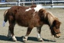Rescued Mini Horses / Photographs of some of the 37 miniature horses and Shetland ponies who were rescued by the MSPCA and the Animal Rescue League of Boston in March, 2012.