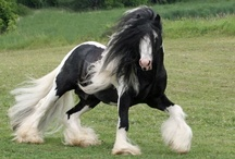 Gypsy Vanner / so beautiful, maybe one day / by Gayla Whitfield