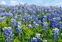 Flowers - Blue Bonnets