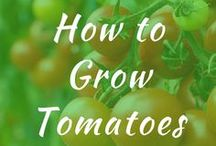 How to Grow Tomatoes / How to grow tomatoes in a pot from seeds. How to grow tomatoes in raised beds and in containers. Step by step tips and tricks for indoor garden ideas. Vertically growing plants upside down.