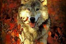 Wölfe ♥