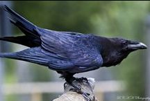 Crows/Magpies/Ravens, etc. / by Kate Gorman