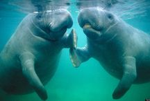 Manatee Getting Married 2016 / Nuzzle Nuzzle