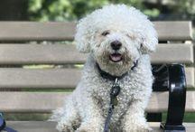 My Beautiful Bichon / Pictures of Jordan's cute dog — Joey