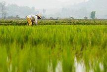 Riz ♦ / Le riz est une céréale incontournable, qui représente 23% des calories consommées dans le monde. Découvrez le riz, un des neuf clusters d'EXPO 2015 qui se tiendra à Milan.  Novoceram n'est ni partenaire, ni sponsor d'EXPO 2015.