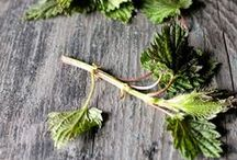 Nettles [Botanical] / This board is focused on the herb commonly known as stinging nettle (Urtica dioica). Learn about nettles and find helpful and creative ways to incorporate this herb into your life from nettle recipes and remedies to materia medicas and plant profiles, to foraging and harvesting tips, and more.