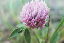 "Red Clover [Botanical] /  This board is focused on the common roadside ""weed,"" red clover (Trifolium pratense). Learn about red clover and find helpful and creative ways to incorporate this herb into your life from red clover recipes and remedies to materia medicas and plant profiles, to foraging and harvesting tips, and more."