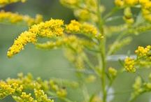 "Goldenrod [Botanical] / This board is focused on the roadside ""weed"" goldenrod (Solidago spp.). Learn about goldenrod and find helpful and creative ways to incorporate this herb into your life from goldenrod recipes and remedies to materia medicas and plant profiles, to foraging and harvesting tips, and more."