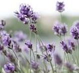 Lavender [Botanical] / This board is focused on the wonderfully smelling lavender plant (Lavendula spp.). Learn about lavender and find helpful and creative ways to incorporate this herb into your life from lavender recipes and remedies to materia medicas and plant profiles, to foraging and harvesting tips, and more.