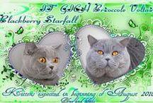 British Shorthair cats - Kittens E / British shorthair cats and kittens - Litter E http://www.starfall.lt/litters/e/