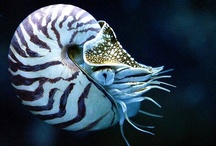 Nautilus - shells / by Revel