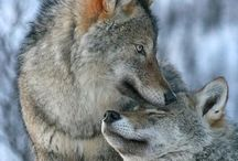 lone Wolf, Wolf pack / Wolf & wolves