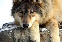 mon ami le loup / mes meilleure amis les loup biensur