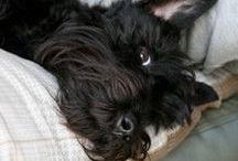 scottish terrier / on dirais le petit chien de ma vie :) :) :) :) :) :) :) :) :) :) :) :) :) :) :): ): )